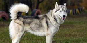 Do huskies bark