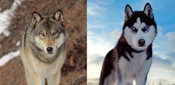 Wolf vs Husky