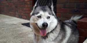 Are huskies good pets?