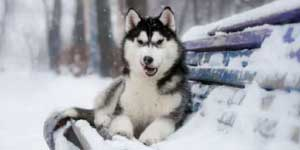 Husky in cold temperature