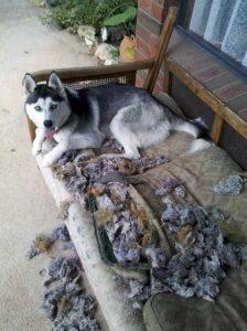 Husky ripped furniture