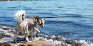 Can Huskies Swim