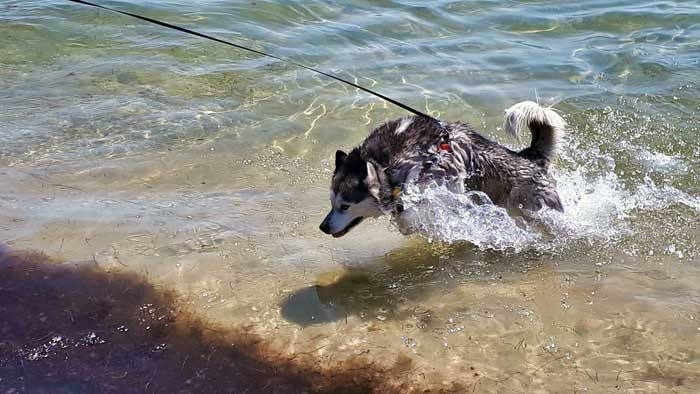 Husky splashing in water