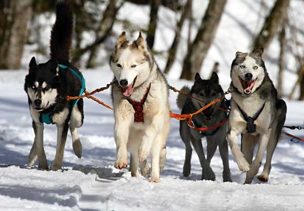 Huskies running with a sled