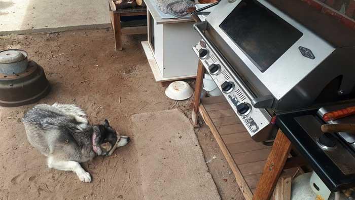 Husky at a BBQ