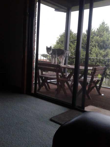 Husky on table