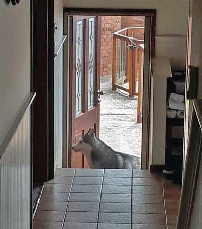 Husky left outside