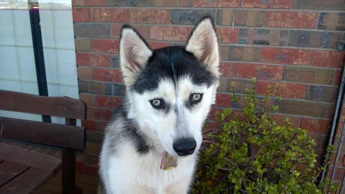 Cute Husky puppy eyes