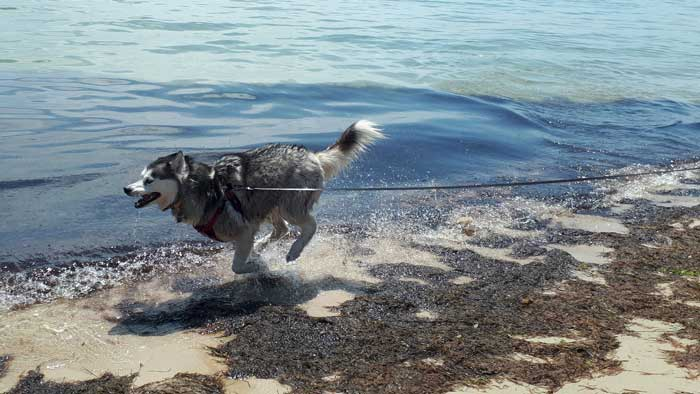 Husky running on beach with long leash