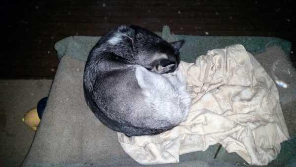Husky sleeping cold