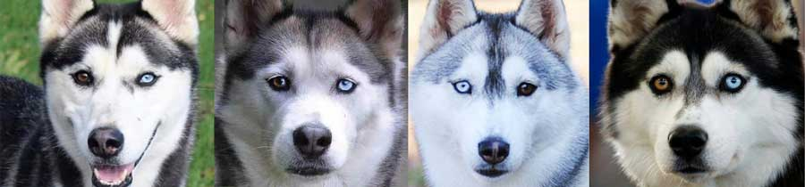 Bi-colored Husky eyes