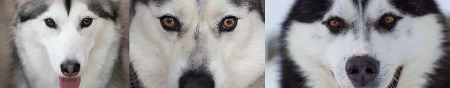 Husky brown eyes