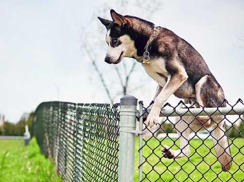 Husky climbing fence