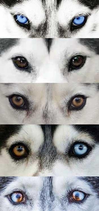 Husky eye color chart