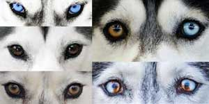 Husky eye colors