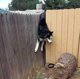 Husky stuck in fence