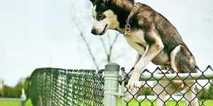 How to stop a Husky running away