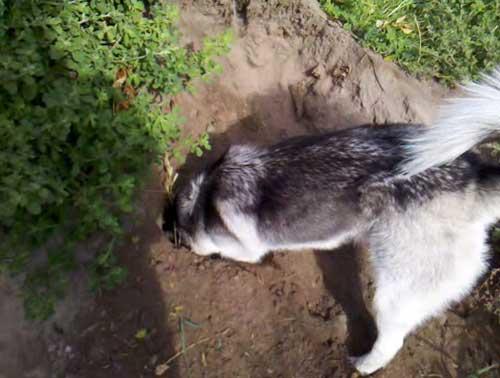 Husky digging hole