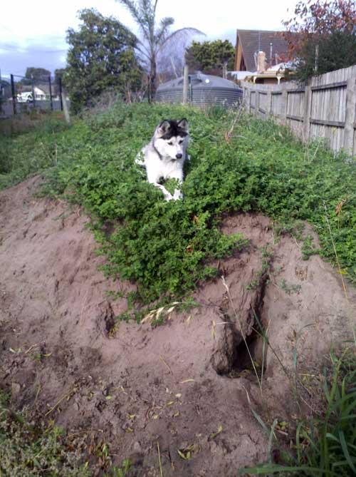 Husky designated digging spot
