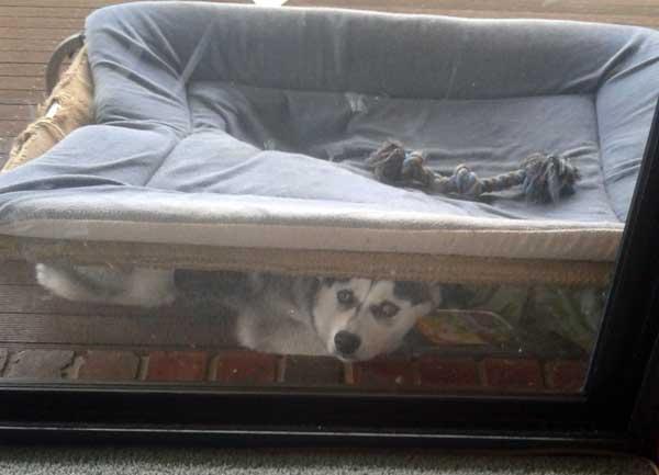 Husky sleeping under bed
