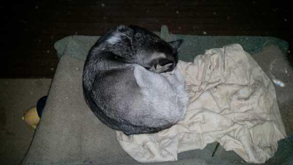 Husky sleeping in winter