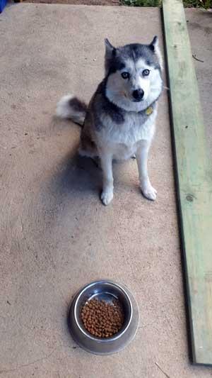Husky waiting to eat