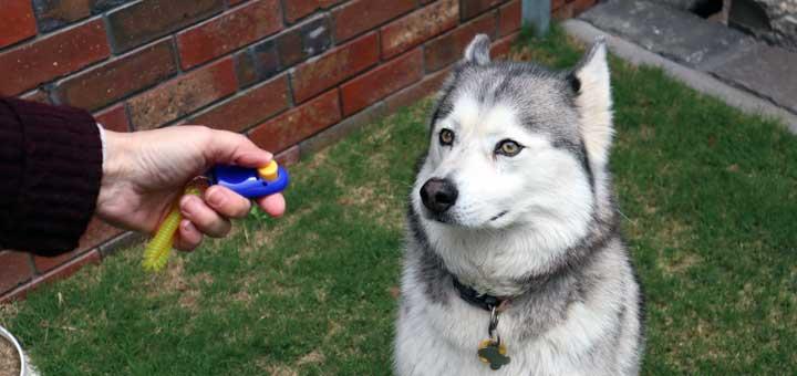 Husky Clicker Training